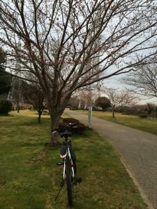 引地川親水公園。桜の見頃は来週末辺りかな。